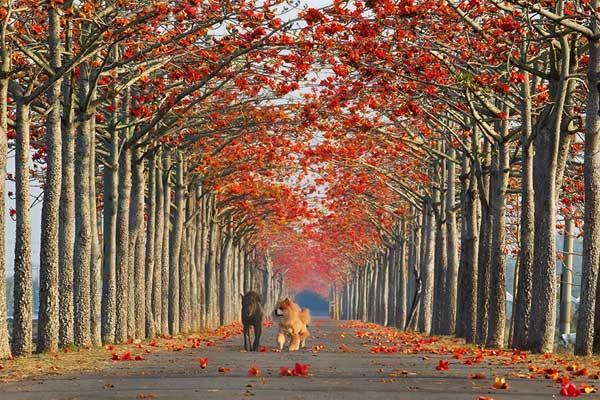 خیابان درختان کتان در تایوان