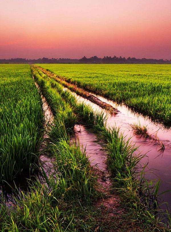 rice-fields-motamem10