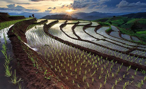rice-fields-motamem7